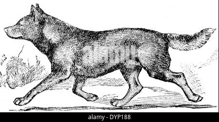 Australian dingo (Canis lupus dingo), illustration from Soviet encyclopedia, 1928 - Stock Photo