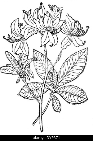 Yellow Azalea, Honeysuckle Azalea (Rhododendron luteum), illustration from Soviet encyclopedia, 1926 - Stock Photo