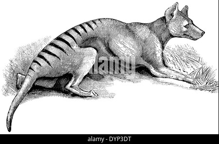 Thylacine (Thylacinus cynocephalus), illustration from Soviet encyclopedia, 1926 - Stock Photo