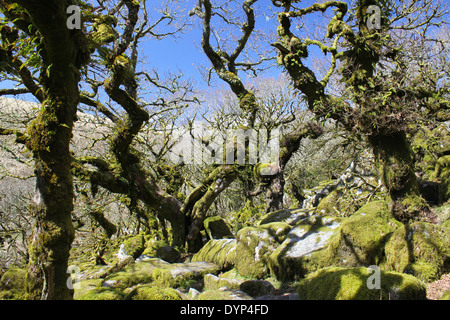 Moss and ancient oaks in Wistman's Wood on Dartmoor in Devon - Stock Photo