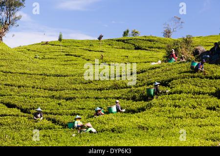 People harvesting tea (Camellia sinensis) on tea plantation near Ciwidey, West Java, Indonesia - Stock Photo