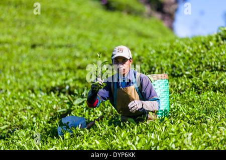 Man harvesting tea (Camellia sinensis) on tea plantation near Ciwidey, West Java, Indonesia - Stock Photo
