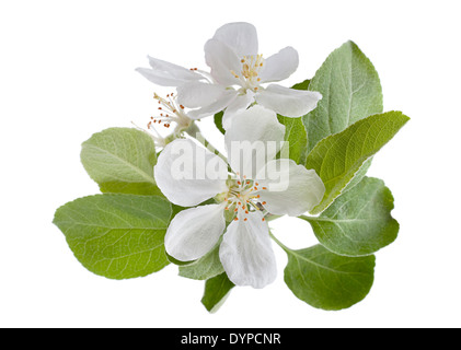 Blossom apple branch isolated on white - Stock Photo