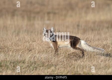 Arctic Fox, Vulpes lagopus, vixen - Stock Photo