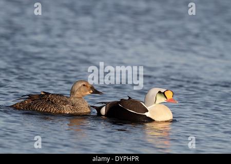 King Eider, Somateria spectabilis, pair swimming together - Stock Photo