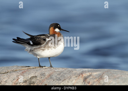 Red-necked Phalarope, Phalaropus lobatus - Stock Photo