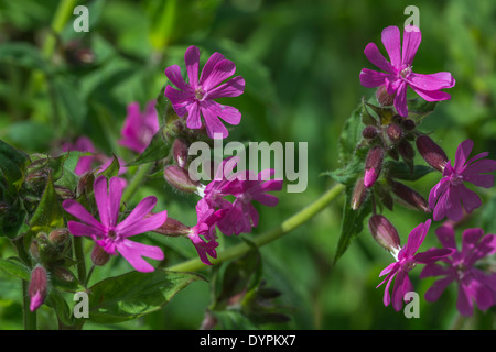 Red Campion / Silene dioica flowers. See FOCUS note in 'description'. - Stock Photo