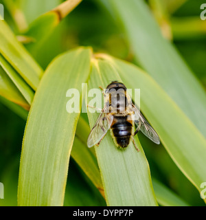 Hover Fly at rest on bamboo leaf, facing upward; square format - Stock Photo