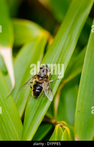 Hover Fly at rest on bamboo leaf, facing up right; portrait format - Stock Photo
