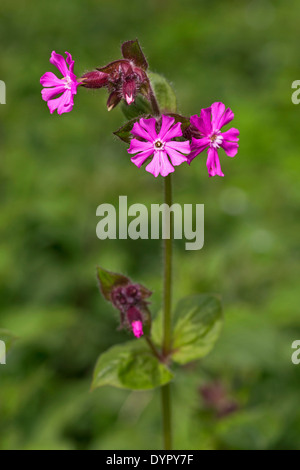 Red campion (Silene dioica / Melandrium rubrum) in flower - Stock Photo