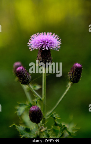 A wild Canadian Thistle in bloom - Stock Photo