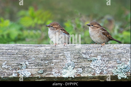 Pair Of Female House Sparrows- Passer domesticus Perched On A Fence Post, Spring, Uk. - Stock Photo