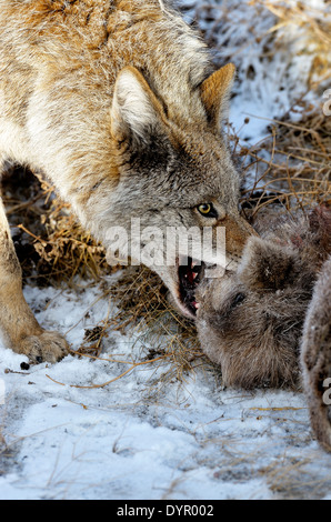 A wild coyote pulling on a baby bighorn sheep that he has just killed - Stock Photo