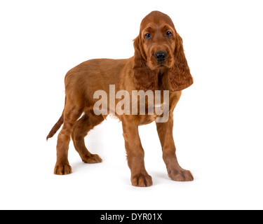 Two month old Irish Setter dog - Stock Photo