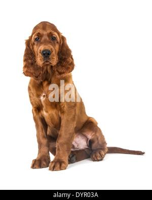 Two month old Irish Setter dog - Stock Photo