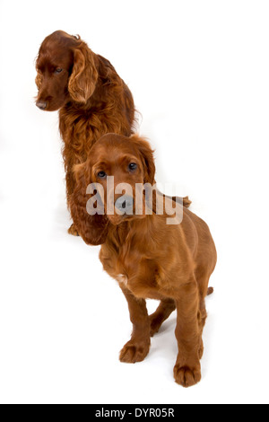 Two month old Irish Setter puppy with adult dog - Stock Photo