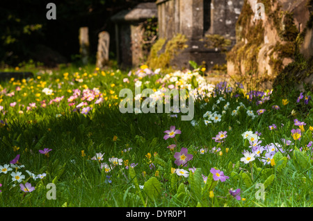 Colourful wild primroses (Primula vulgaris) growing amongst the tombs and gravestones of a country churchyard in - Stock Photo