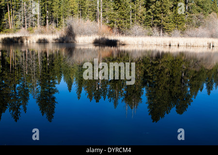 A forest of pine trees reflected in a pond on a bright, sunny day - Stock Photo