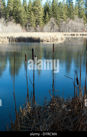 Cattails (Typha latifolia) on the edge of a partially frozen pond - Stock Photo