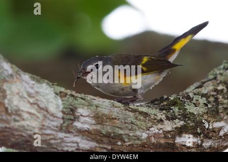 immature male American Redstart (Setophaga ruticilla) eating a large fly - Stock Photo