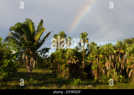 Rainbow over palm trees at Crooked Tree, Belize - Stock Photo