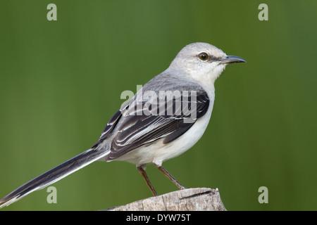 Tropical Mockingbird (Mimus gilvus) - Stock Photo
