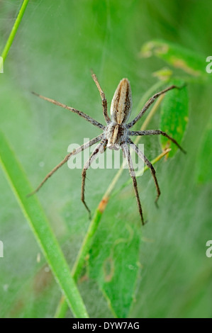 Nursery Web Spider (Pisaura mirabilis), female guarding youngs under tissue, North Rhine-Westphalia, Germany - Stock Photo