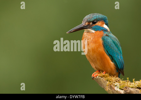 Common Kingfisher (Alcedo atthis) male, perched on branch, Norfolk, England - Stock Photo