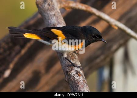 male American Redstart (Setophaga ruticilla) - Stock Photo