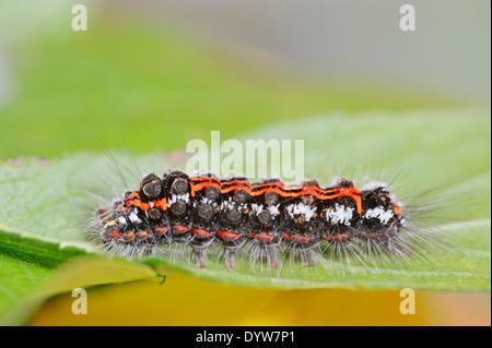 Yellow-tail Moth, Goldtail Moth or Swan Moth (Euproctis similis), caterpillar, North Rhine-Westphalia, Germany - Stock Photo