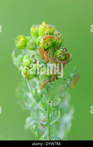 Cinnabar Moth (Tyria jacobaeae), caterpillars on Tansy Ragwort (Senecio jacobaea, Jacobaea vulgaris) - Stock Photo