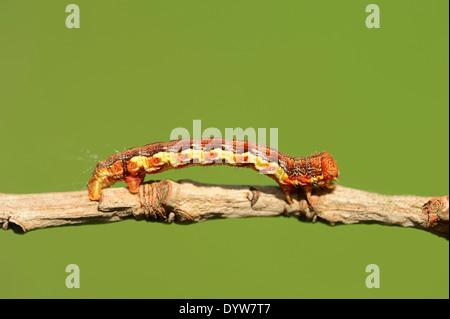 Mottled Umber (Erannis defoliaria), caterpillar, North Rhine-Westphalia, Germany - Stock Photo