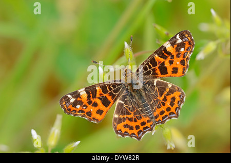 Map Butterfly or European Map (Araschnia levana f. levana), spring form, North Rhine-Westphalia, Germany - Stock Photo