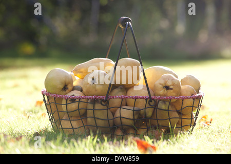 Quince fruit in a basket, Cydonia oblonga - Stock Photo