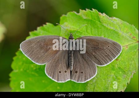 Ringlet Butterfly (Aphantopus hyperantus), North Rhine-Westphalia, Germany - Stock Photo