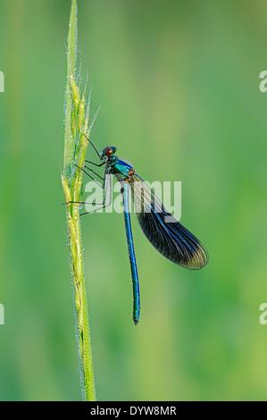 Banded Demoiselle (Calopteryx splendens, Agrion splendens), male, North Rhine-Westphalia, Germany - Stock Photo