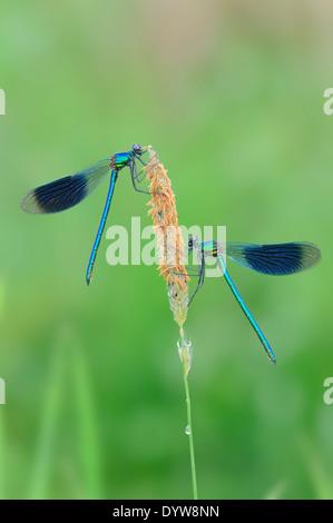 Banded Demoiselle (Calopteryx splendens, Agrion splendens), males, North Rhine-Westphalia, Germany - Stock Photo