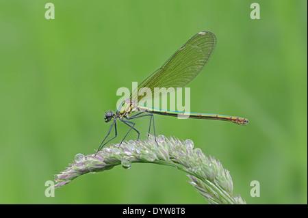 Banded Demoiselle (Calopteryx splendens, Agrion splendens), female, North Rhine-Westphalia, Germany - Stock Photo