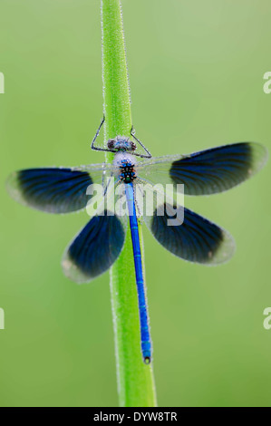 Banded Demoiselle (Calopteryx splendens, Agrion splendens), male, North Rhine-Westphalia, Germany - Stock Photo