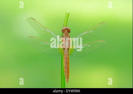 Scarlet Dragonfly, Scarlet Darter, Broad Scarlet or Red Dragonfly (Crocothemis erythraea), juvenile, male - Stock Photo