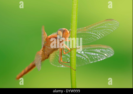 Scarlet Dragonfly, Scarlet Darter, Broad Scarlet or Red Dragonfly (Crocothemis erythraea), juvenile, male - Stock Photo