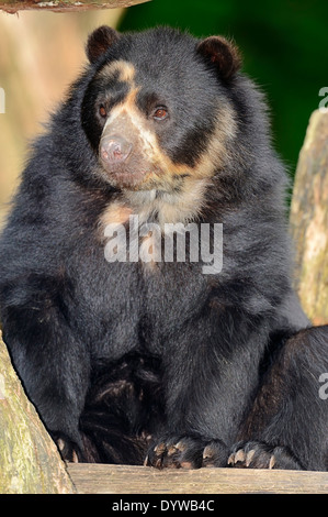 Spectacled Bear or Andean Bear (Tremarctos ornatus) - Stock Photo