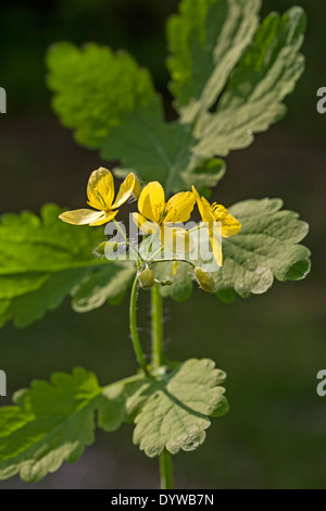 Greater celandine / tetterwort (Chelidonium majus) in flower - Stock Photo