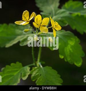 Greater celandine / tetterwort (Chelidonium majus) in flower - Stock Photo