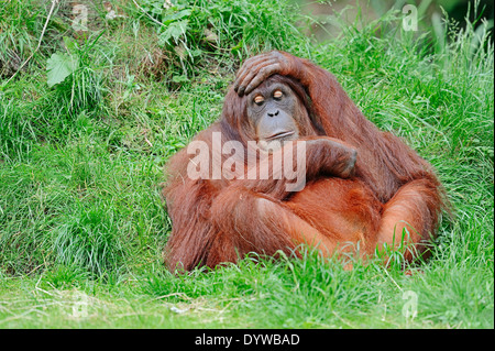 Sumatran Orang-utan, Sumatran Orangutan (Pongo pygmaeus abelii, Pongo abelii) - Stock Photo