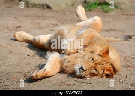 African Lion (Panthera leo), male - Stock Photo