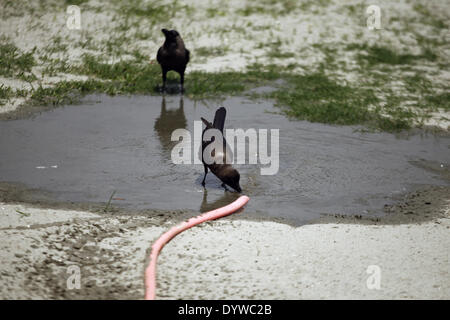 Dhaka, Bangladesh. 25th Apr, 2014. Craws are drinking water during hot weather in Dhaka.People in the capital experienced - Stock Photo
