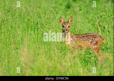 European Roe Deer or Western Roe Deer (Capreolus capreolus), fawn, North Rhine-Westphalia, Germany - Stock Photo