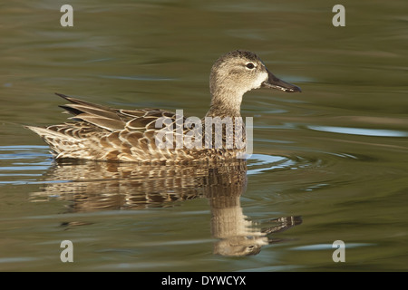 Blue-winged Teal Anas discors - Female. - Stock Photo