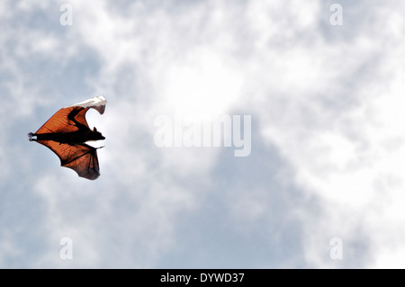 Giant fruit bat ( Pteropus giganteus),  Peradeniya, Sri Lanka - Stock Photo